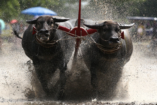 Water buffalos compete in Chonburi's annual buffalo race festival, in Chonburi province, Thailand, July 16, 2017. (Photo by Athit Perawongmetha/Reuters)