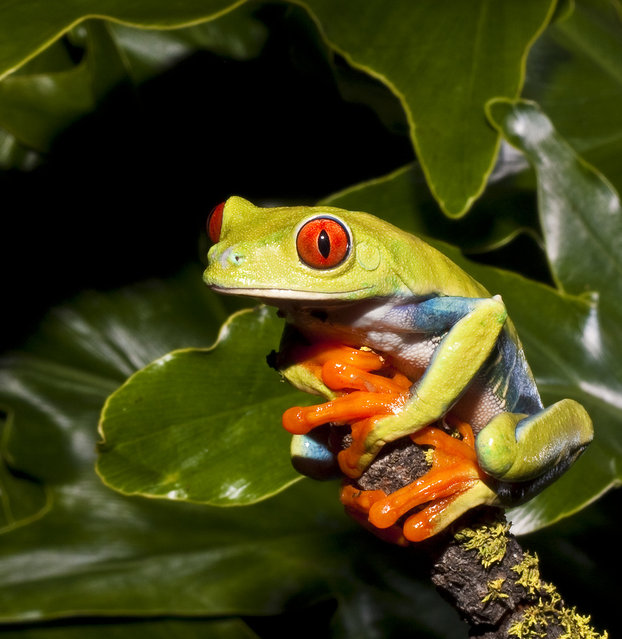The Red-eyed Treefrog (Agalychnis callidryas)