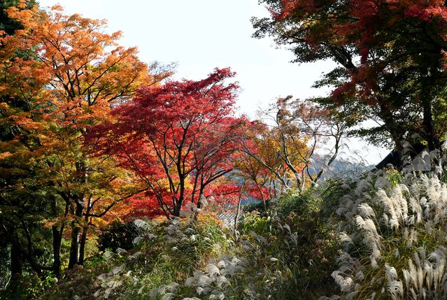Leaves change their colour in the autumn season in Hakone town, Kanagawa prefecture, some 100 kilometres west of Tokyo, on November 17, 2016. (Photo by Toshifumi Kitamura/AFP Photo)