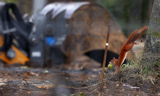 A squirrel with an apple in its mouth jumps down from a tree next to a excavator shovel where an unexploded 1.8 tons WW II bomb was found in Frankfurt, Germany, Saturday, September 2, 2017. The bomb is supposed to be defused on Sunday, 70 000 people have to be evacuated. (Photo by Michael Probst/AP Photo)