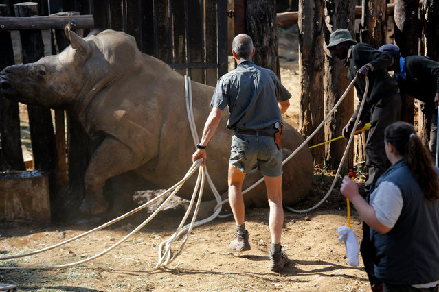 Conservation staff members move the eight-years-old White Rhino Seha into a truck in Johannesburg, South Africa, 28 July 2017. (Photo by Kim Ludbrook/EPA/EFE)