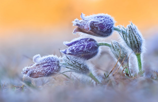 Runner-up. Ever since Daniel Eggert first fell in love with pasque flowers, among the first flowers of spring, he had wanted to photograph them covered in hoar frost. Now it was pasque-flower time once again. He had already identified a spot of chalky grassland near his home where the plants grew, on the rim of the Nördlinger Ries crater (a meteor crater) in Bavaria, Germany. (Photo by Daniel Eggert/Veolia Environnement Wildlife Photographer of the Year 2012)