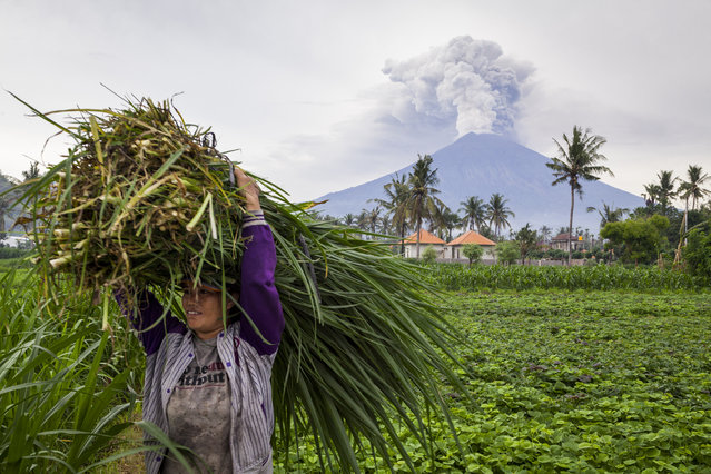 A farmer is seen carrying grass while Mount Agung spews heavy volcanic ash on November 28, 2017 in Karangasem, Island of Bali, Indonesia. Indonesian authorities raised the state of alert to its highest level for the volcano, Mount Agung, after thick ash started shooting thousands of meters into the air with increasing intensity. Based on reports, as many as 100,000 villagers will need to leave the expanded danger zone while tens of thousands of tourists have been stranded due to airport closures. (Photo by Andri Tambunan/Getty Images)