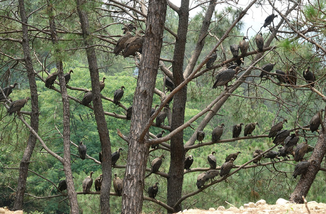 Vultures sit on branches of a tree in the Bhorni Village near Nagrota Bagwan, Himachal Pradesh state, India, 27 June 2020. (Photo by Sanjay Baid/EPA/EFE)