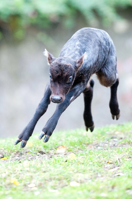 A young anoa, also known as midget buffalo, named Tycoon runs around at the Zoo in Berlin, Germany, on November 9, 2012. (Photo by Maurizio Gambarini/EPA)