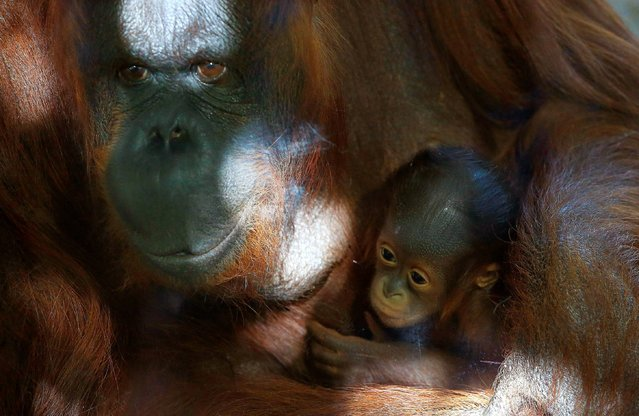 A Bornean orangutan Bess, left, shows off her six-week-old baby boy on the first day the Phoenix Zoo is allowing the two to be seen by the public Monday, October 13, 2014, in Phoenix. The still unnamed Bornean orangutan newborn will spend the first four or five months on their mothers, clinging tightly. (Photo by Ross D. Franklin/AP Photo)