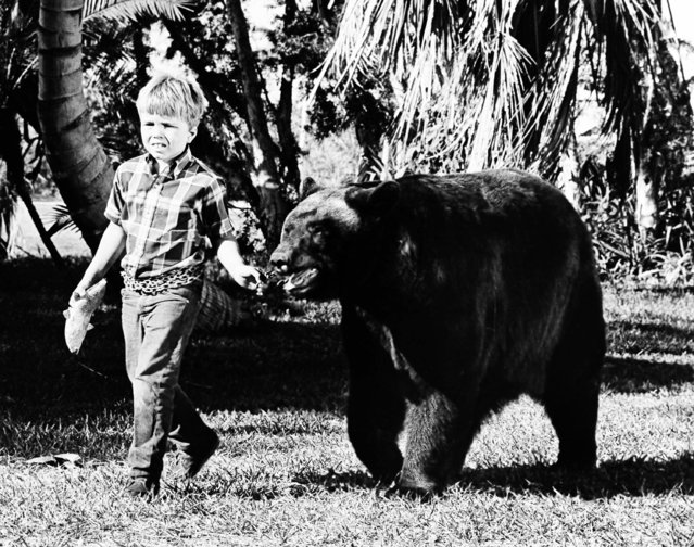 "Client Howard playing the son of an Everglades game warden, leads his pet bear Ben, into another adventure of ""Gentle Ben"" October 6, 1967. (Photo by AP Photo)"