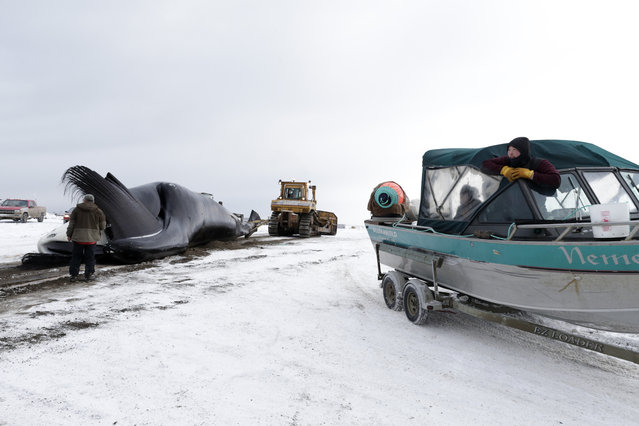 In this October 7, 2014, photo, an Inupiat whaler looks on from a boat on a trailer as a bowhead whale is hauled onto shore after a catch near Barrow, Alaska. During the fall, whaling is done in small boats and few crew members. Once a whale is caught, it is pulled ashore by the tiny boats, in an effort that often takes hours. (Photo by Gregory Bull/AP Photo)
