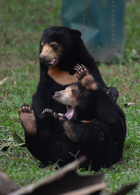 Two sun bears play inside one of the newly opened semi-natural enclosures at the Vietnam Bear Rescue Center run by Animals Asia in Tam Dao, northern province of Vinh Phuc on November 5, 2014. The centre currently houses more than one hundred bears rescued from Vietnam's bear bile industry, according to Animals Asia in a press release adding that in Vietnam there are officially 1,978 bears still in farms despite the practice being made illegal in 1992. (Photo by Hoang Dinh Nam/AFP Photo)