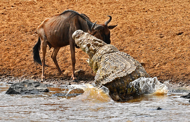 A large crocodile attacks a wildebeest during the migration in the Masai Mara game reserve on September 12, 2016. The daring wildebeest returned after the first attempt by the crocodile and was attacked again but walked away unharmed. (Photo by Carl De Souza/AFP Photo)