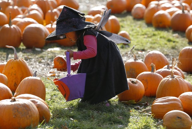 Dressed as a witch, Krizia Magdua plays with pumpkins in the pumpkin patch ahead of Halloween at Crockford Bridge Farm at Addlestone near Woking, southern Britain October 26, 2015. (Photo by Luke MacGregor/Reuters)