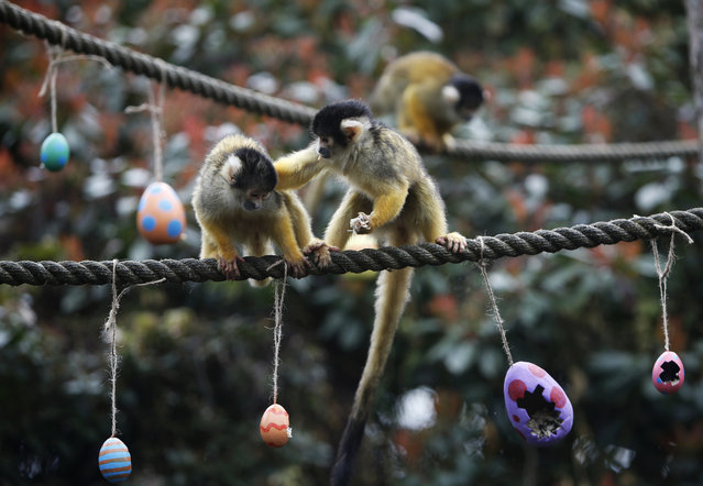 A squirrel monkey, right, pushes his mate away as he eats a treat of worms and seeds from a papier mache Easter eggs, at London Zoo in London, Thursday, March 29, 2018. The zoo traditional feeds selected animals treats to encourage visitors to the zoo over the Easter holidays. (Photo by Alastair Grant/AP Photo)