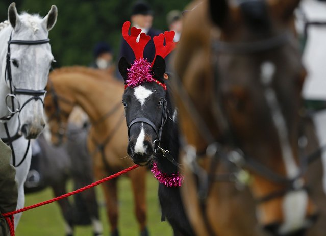 A horse wears toy reindeer antlers during the traditional Quorn Hunt Boxing Day meet at Prestwold Hall near Loughborough December 26, 2014. (Photo by Darren Staples/Reuters)