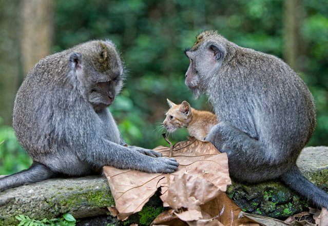 Monkey Adopts Kitten By Anne Young
