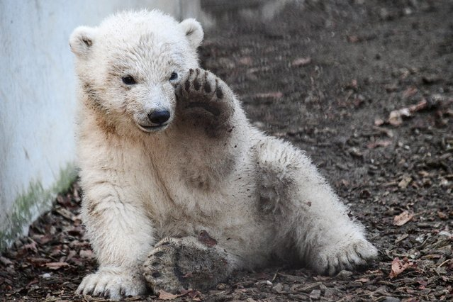 A polar bear cub named Kara, plays in its enclosure at the Zoological and Botanical park in Mulhouse, eastern France, on February 25, 2021. The polar bear cub, who makes its first steps outside, was born in November 2020. (Photo by Sebastien Bozon/AFP Photo)