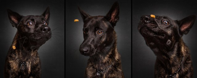 A dutch shepherd. Having worked on perfecting the technique for his food-catching shots, he now gets bombarded with requests to take photographs of pets for others. (Photo by Christian Vieler/Caters News)
