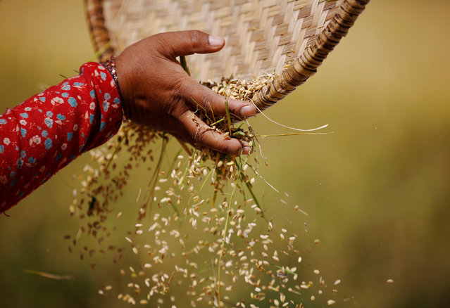 The hand of a farmer is pictured as she harvests rice on a field in Lalitpur, Nepal October 26, 2016. (Photo by Navesh Chitrakar/Reuters)
