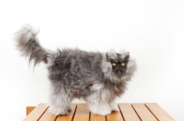 In this Monday, December 3, 2012 photo provided by Guinness World Records, Colonel Meow, the cat with the longest fur, poses for a photo in Los Angeles. Colonel Meow has 9-inch (23-centimeter) hair. That's good enough to put the Himalayan-Persian mix into the 2014 edition of the Guinness World Records book, due out September 12, 2013. Owners Anne Marie Avey and Eric Rosario, of Los Angeles, say the 2-year-old cat got its name because of his epic frown and fur. It takes both of them to brush the cat's fur three times a week. (Photo by Ryan Schude/AP Photo/Guinness World Records)
