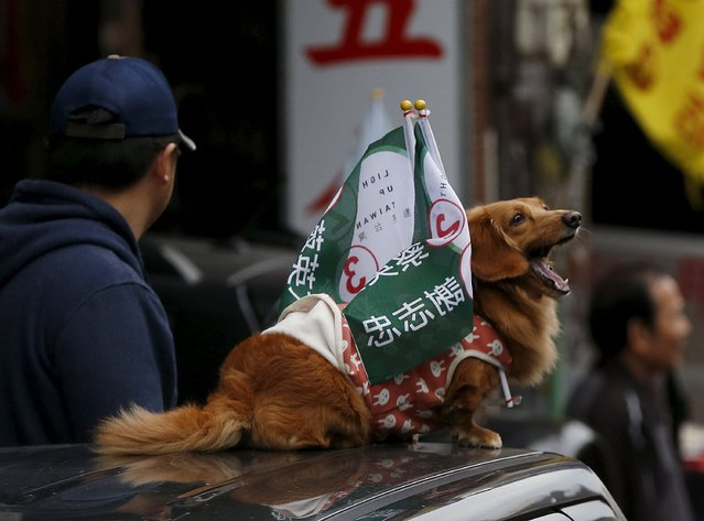 A dog yawns during a campaign rally for Taiwan's Democratic Progressive Party (DPP) ahead of the election in Taichung, Taiwan, January 15, 2016. (Photo by Olivia Harris/Reuters)