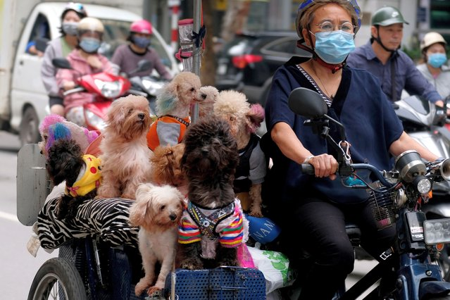 A woman wearing face mask rides her bike loaded with dogs, in a street in Hanoi, Vietnam, 27 April 2021. Vietnamese Health Minister Nguyen Thanh Long has recently warned of a possible fourth COVID-19 wave, since the COVID-19 pandemic grows complicated in the neighboring countries of Cambodia and Laos. (Photo by Luong Thai Linh/EPA/EFE)