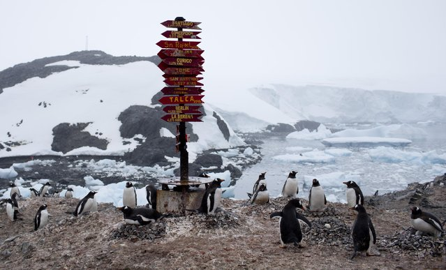 """In this January 22, 2015 photo, Gentoo penguins gather near a post of wooden arrows with names of cities and their respective distances, at the Bernardo O'Higgins scientific station, Antarctica. Increasing foot traffic poses """"particular risks of disturbance or contamination to some of the last remaining essentially pristine areas on the planet"""", said Alan Hemmings, an environmental consultant on polar regions. (Photo by Natacha Pisarenko/AP Photo)"""