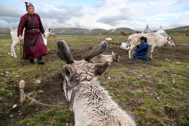 The daily milking of the reindeer. (Photo by Pascal Mannaerts/Rex Feature/Shutterstock)