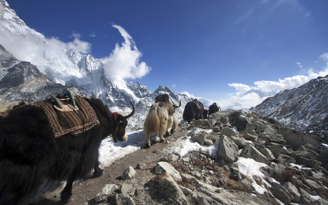 In this  Saturday, March 21, 2015 photo, a caravan of yaks return after dropping off supplies for the upcoming climbing season at the Everest Base camp, Nepal. (Photo by Tashi Sherpa/AP Photo)