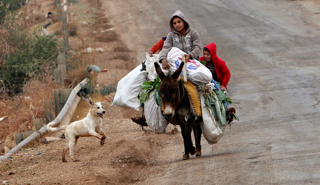 A dog runs as Palestinian boys ride donkeys carrying vegetable after working in their field in the West Bank village of Nassariya near Nablus November 30, 2016. (Photo by Abed Omar Qusini/Reuters)