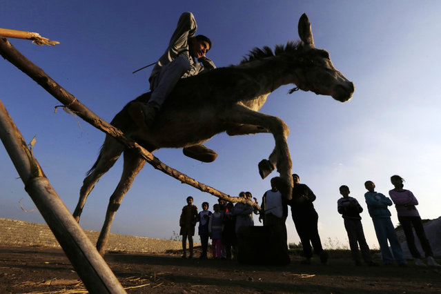 In this Friday, February 5, 2016 picture, Ahmed Ayman, 14, rides his trained donkey as she jumps over a barrier in the Nile Delta village of Al-Arid about 150 kilometers north of Cairo, Egypt. (Photo by Amr Nabil/AP Photo)