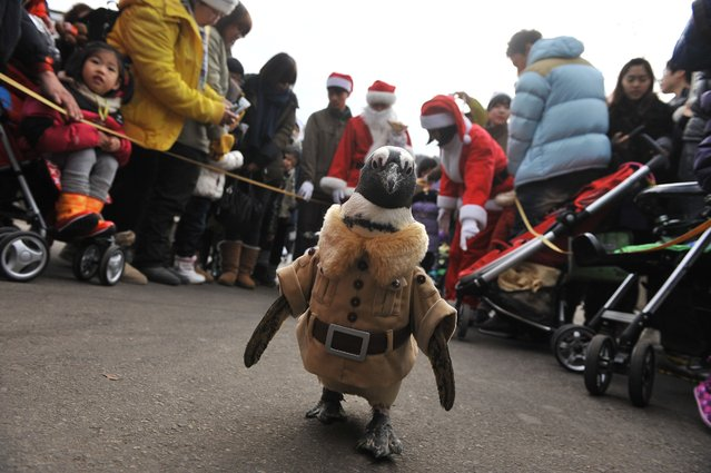 A penguin dressed in a zookeeper costume is paraded at an amusement park for a promotional event ahead of Christmas in Yongin, south of Seoul, on December 18, 2013. (Photo by Woohae Cho/AFP Photo)