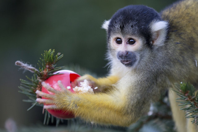 Bolivian squirrel monkeys gets a special treat from their keepers of sultanas and wax worms that were set out on a Christmas tree at London Zoo in London, Wednesday, December18, 2013. London Zoo is the world's oldest scientific zoo. It was opened in London on 27 April 1828, and was originally intended to be used as a collection for scientific study. It was eventually opened to the public in 1847. (Photo by Alastair Grant/AP Photo)