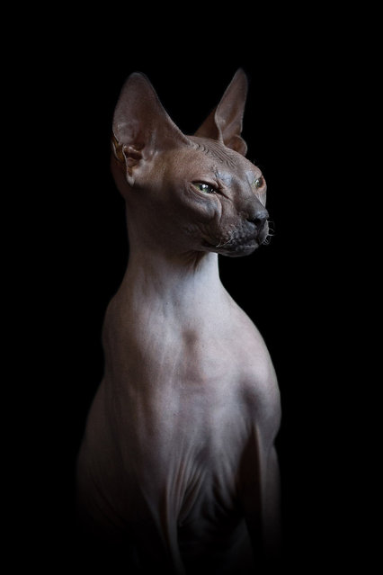 A photographer has captured the bizarre beauty of sphynx cats in a series of intriguing portraits. Creative Alicia Rius snapped them from different angles showing off their unusual flesh, colourings and bones. In the images the cats can be seen curiously playing, observing their surroundings and even grooming themselves. (Photo by Alicia Rius/Caters News)