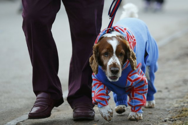 A dog arrives dressed in a onesie for the second day of the Crufts Dog Show in Birmingham, Britain March 11, 2016. (Photo by Darren Staples/Reuters)