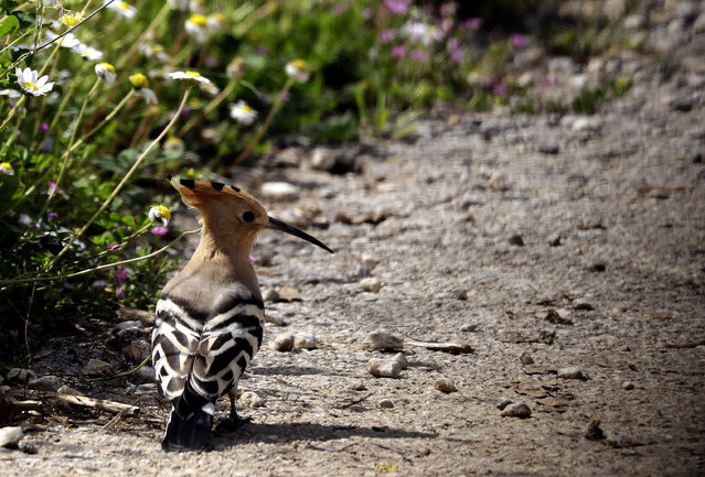 A hoopoe bird is seen in a field in the village of Damour, south of the capital Beirut, on April 8, 2019. (Photo by Joseph Eid/AFP Photo)