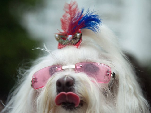 "A dog wears pink sunglasses at the animals' carnival parade ""Blocao"", at Copacabana in Rio de Janeiro. (Photo by Christophe Simon/AFP Photo)"