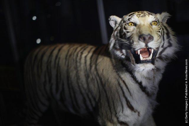 A stuffed Tiger