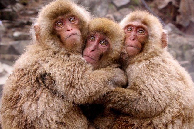 Huddled together with their arms around one another, these little monkeys look more than happy to pose for the camera. (Photo by Caters News)
