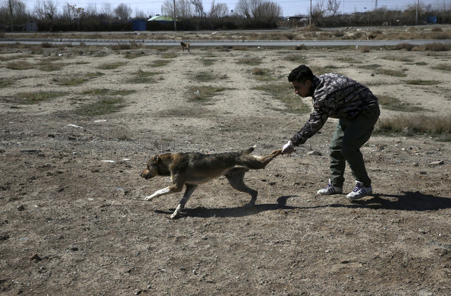 In this picture taken on Sunday, March 5, 2017, a Tehran's urban animal control worker catches a stray dog after being shot with his anesthetic dart on the outskirts of the capital Tehran, Iran. (Photo by Vahid Salemi/AP Photo)