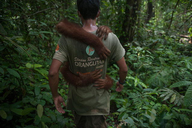 Leo, an orphaned Sumatran orangutan, is taken to the Sumatran Orangutan Conservation Programme rehabilitation centre. Leo will join other orangutans who have been reintroduced to the Pinus Jantho nature reserve. The SOCP has gradually formed a completely new wild population of species that have been threatened with extinction. (Photo by Sutanta Aditya/Barcroft Images)