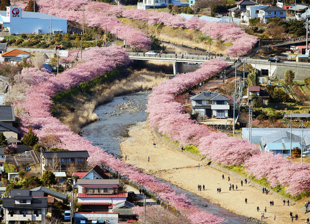 People enjoy walking along a row of cherry blossom trees, as seen in photo taken from a Kyodo News helicopter, in the central Japan town of Kawazu on February 15, 2017. The good time to view the early flowering blossoms will continue through early March. (Photo by Kyodo News via Getty Images)