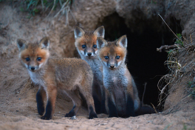 A trio of wild fox cubs cautiously exit their den near a farm road in Northampton County, Va. on Thursday evening, April 24, 2014. (Photo by Jay Diem/AP Photo/Eastern Shore News)