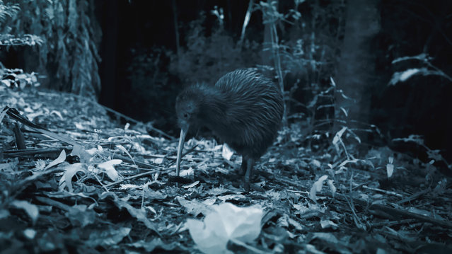 A kiwi lays an enormous egg which takes up about 20% of the mother's body weight- a human baby takes up only 5% in comparison. The unique bird also has nostrils at the tip of its bill, enabling it to sniff out invertebrate prey underground. Around the same size and shape as a stout chicken, a kiwi is in fact related to the ostrich. (Photo by Screen Grab/BBC Pictures/The Guardian)
