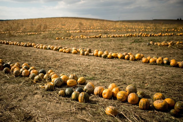 Thousands of pumpkins lie on a field near Niederkreuzstetten, near Vienna, Austria, 20 September 2016. (Photo by Christian Bruna/EPA)
