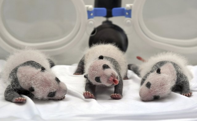 Newborn giant panda triplets, which were born to giant panda Juxiao (not pictured), are seen inside an incubator at the Chimelong Safari Park in Guangzhou, Guangdong province August 17, 2014. According to local media, this is the fourth set of giant panda triplets born with the help of artificial insemination procedures in China, and the birth is seen as a miracle due to the low reproduction rate of giant pandas. (Photo by Reuters/Stringer)