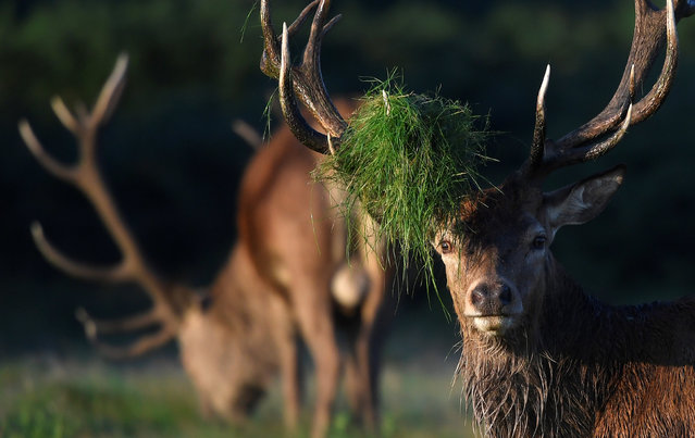A stag deer with undergrowth on its antlers in Richmond Park, London on September 7, 2017. (Photo by Toby Melville/Reuters)