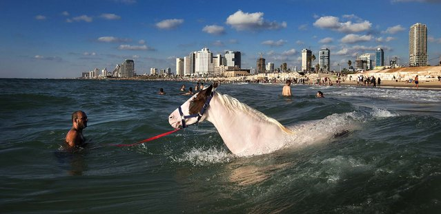 A man swims with his horse in the Mediterranean Sea off the beach in Tel Aviv, Israel, August 21, 2012. (Photo by Oded Balilty/Associated Press)