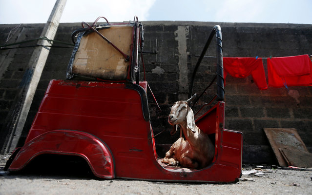 A goat sits inside a body part of a three-wheeler in a Muslim village in Colombo, Sri Lanka June 13, 2017. (Photo by Dinuka Liyanawatte/Reuters)