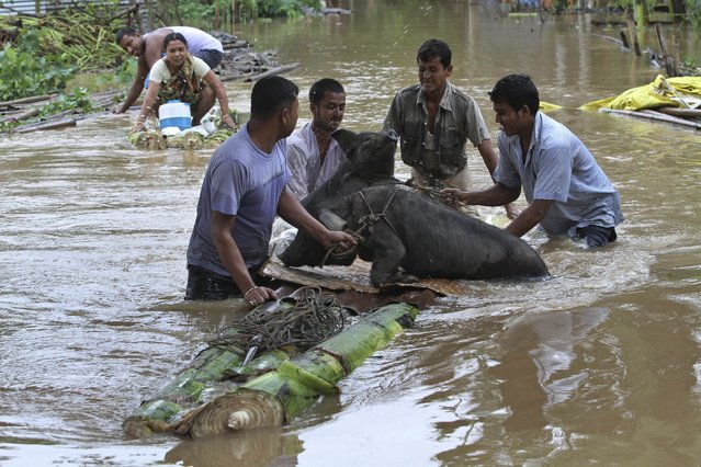 Indian flood affected villagers rescue their pigs on a makeshift banana raft at the Chaygaon village in Kamrup district of northeastern Assam state, India, Tuesday, September 23, 2014. Landslides and flash floods triggered by two days of heavy rain have killed at least 28 people in India's remote northeast, officials said Tuesday. (Photo by Anupam Nath/AP Photo)