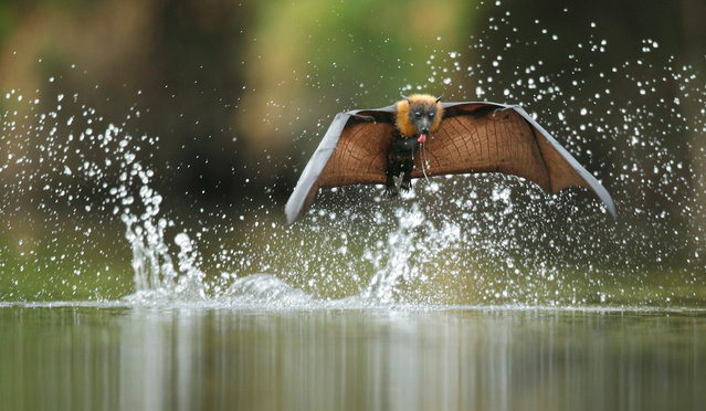 Specially commended. The grey-headed flying fox is the largest bat in Australia – and one of the most vulnerable. Once abundant, there are now only around 300,000 left. The main threats include loss of habitat, extreme-temperature events and human persecution (roosting in numbers, eating cultivated fruit and an undeserved reputation for bearing disease brings it into conflict with people). (Photo by Ofer Levy/Veolia Environnement Wildlife Photographer of the Year 2012)