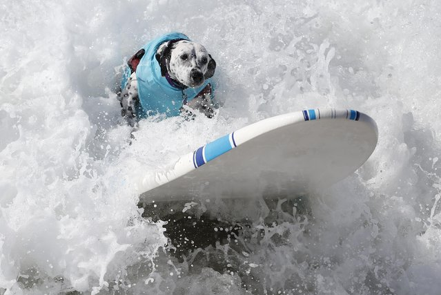 A dog surfs at the 6th Annual Surf City surf dog contest in Huntington Beach, California September 28, 2014. (Photo by Lucy Nicholson/Reuters)